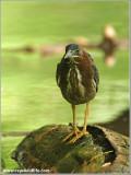 Green Heron 29