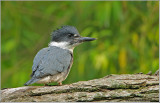 Belted Kingfisher 40