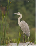 Great Blue Heron 84
