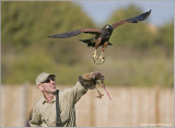 Goran and his Harris Hawk Female
