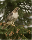 Red-tailed Hawk 198