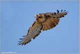 Red-tailed Hawk in Flight 204