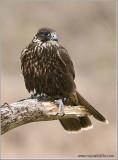 Faris's Falcon  (captive)