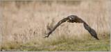 Goran's Red-tailed Hawk  (captive)