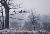 Red-tailed Hawks 215