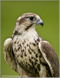 Saker falcon  (captive)
