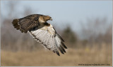 DSC_6813 Red-tailed in Flight web.jpg