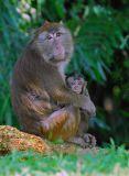 Philippine Macaque 4
