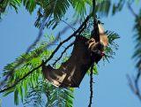 Giant Fruit Bat 3