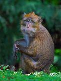 Philippine Macaque 1