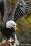Skyhunters 77 Bald Eagle Stretch