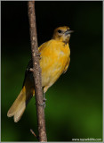 Baltimore Oriole 10