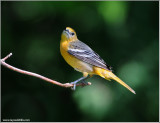 Baltimore Oriole 12