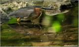 Green Heron 28