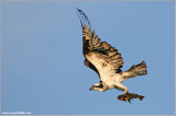 Osprey with Breakfast 52