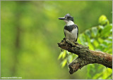 Belted Kingfisher 29