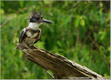 Belted Kingfisher 32