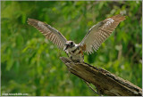 Belted Kingfisher 36