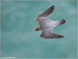 Peregrine Falcon over Niagara 22