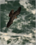 Peregrine Falcon over Niagara 36