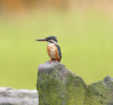 Common Kingfisher, juvenile