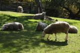 Leister Borders Sheep