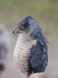 Cooper's hawk (2 years old)