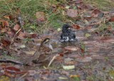 White-throated Sparrow and Dark-eyed Junco bathing alonside the road