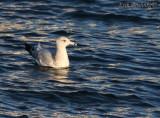 Herring Gull?