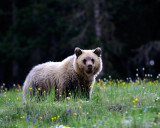 Mt. Washburn Grizzly