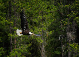 Yellowstone Eagles