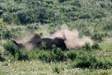 Bison Dirt Bath