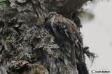Rampichino alpestre-(Eurasian TreecreeperCerthia familiaris)