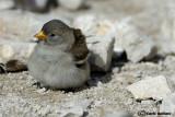 Fringuello alpino -White-winged Snowfinch (Montifringilla nivalis)
