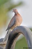 Tortora delle palme-Laughing Dove (Streptopelia senegalensis)