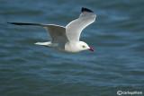 Gabbiano corso- Audouin's Gull (Larus audouinii)