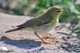 Luì verde-Wood Warbler (Phylloscopus sibilatrix)