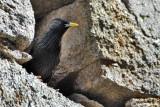 Storno nero- Spotless Starling (Sturnus unicolor)