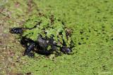 Testuggine d'acqua -European Pond Terrapin  (Emys orbicularis)