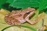 Rana dalmatina-Agile Frog (Rana dalmatina)