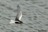 Mignattino alibianche-White-winged Tern (Chlidonias leucopterus)