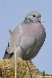 Colombella-Stock Dove (Columba oenas)