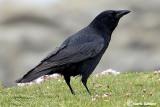 Cornacchia nera- Carrion Crow (Corvus corone)