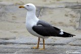 Zafferano-Lesser Black-backed Gull  (Larus fuscus)