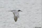 Sterna di Dougall -Roseate Tern (Sterna dougallii)
