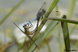 Orthetrum coerulescens mating