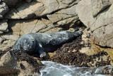Foca grigia-Grey Seal  (Halichoerus grypus)