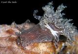 Trapania bonellenae Feeding
