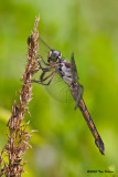 Great Blue Skimmer &#9792