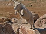 Leapin' Mountain Goat